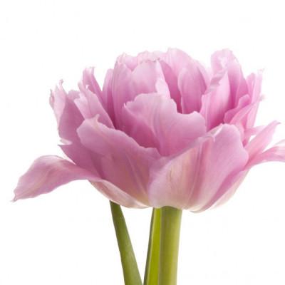 Пионовидный тюльпан